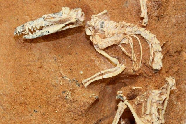 El esqueleto hallado en el desierto de Gobi, en Mongolia, hoy se exhibe en el museo de Historia Natural de EE.UU.