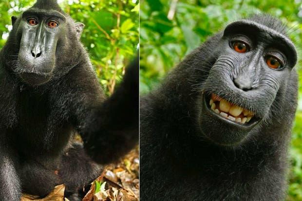 """Llegaron a un acuerdo judicial el """"mono de las selfies"""" y el fotógrafo ..."""