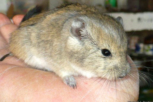 Un ratón bautizado en honor a los Kirchner