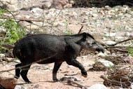 El Tapir, otra de las especies en el Parque Nacional Calilegua. Foto: Amigos del Parque Nacional Calilegua