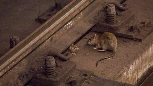 Una rata en el subte de Nueva York