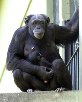 Limitan el uso científico del chimpancés