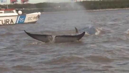 La ballena estuvo varada durante cinco días