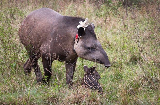 Nena, una hembra de tapir reinsertada en el Iberá, junto a su cría