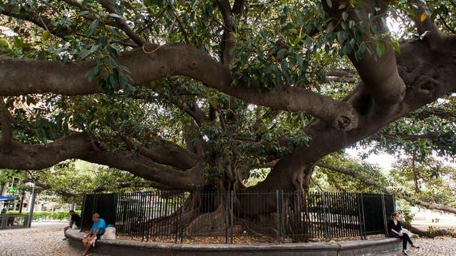 Gomero de la Recoleta: la semana pasada, una de sus pesadas ramas cayó sobre el cerco perimetral y destrozó un segmento