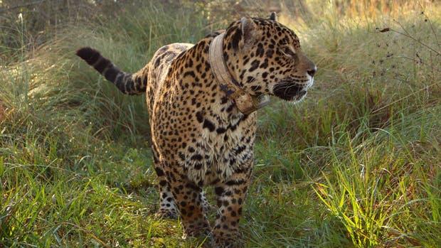 El yaguareté, una de las especias amenazadas que urge proteger