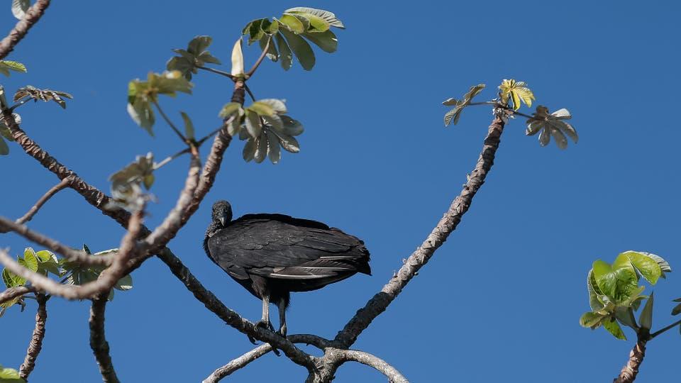 Un Jote de Cabeza Negra descansa sobre la rama de un árbol. Foto: LA NACION / Diego Lima / Enviado especial