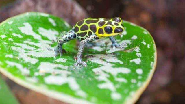 La rana venenosa imitadora permanece junto a su pareja por el bien de los hijos.