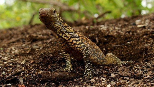 16 dragones de Komodo se crían en la isla Flores