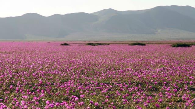 Sobre las inmensas laderas desérticas, florecieron miles de especies de flores de color amarillo, rojo, blanco o violeta