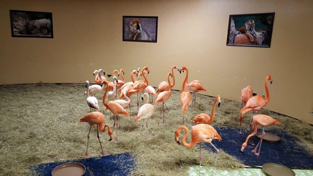 Varios flamencos fueron resguardados dentro de una habitación del parque temático Busch Gardens Tampa Bay