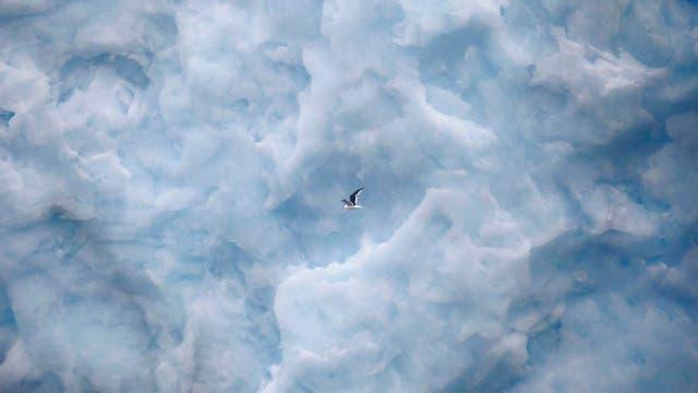 Una gaviota vuela muy cerca de la pared del glaciar Furcade, en  la base Carlini, Antartida. Foto: LA NACION / Fernando Gutierrez