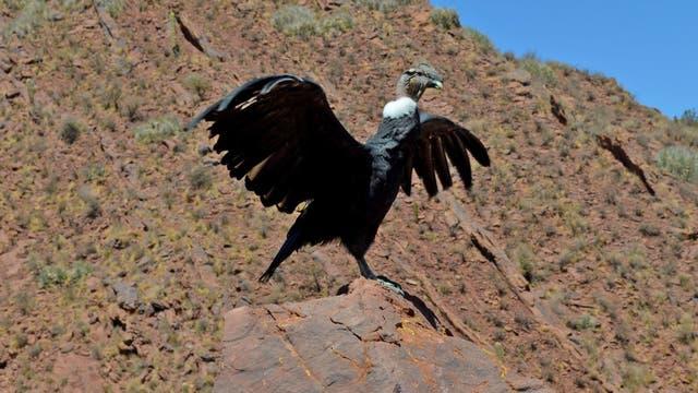 """El cóndor """"Luracatao"""" preparándose para volar"""