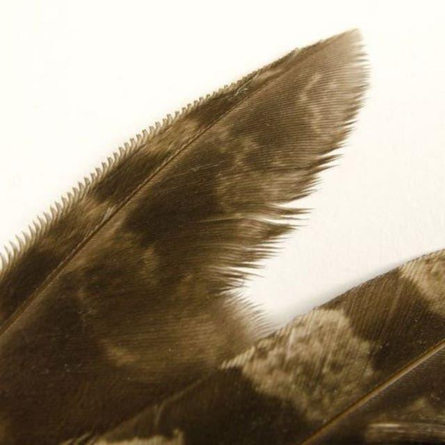 Las plumas dentadas de la lechuza le permiten volar silenciosamente