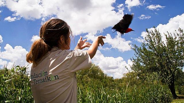 Tras recuperar a las aves, Temaikén procede a su liberación