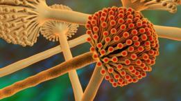 Las micotoxinas más peligrosas son las llamadas aflatoxinas, producidas por hongos del género Aspergillus, como el de la ilustración.