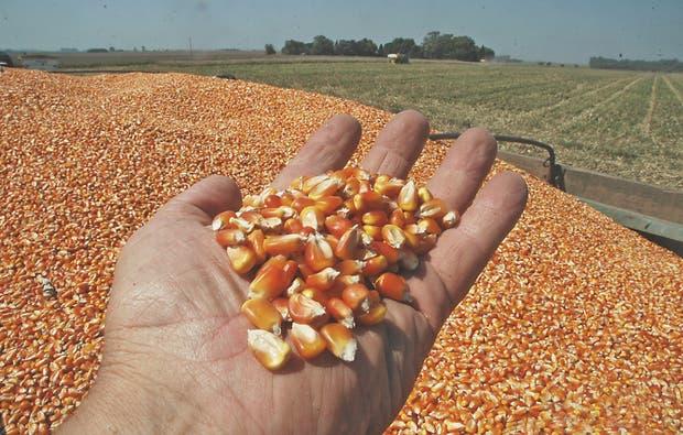 En el vecino país se cosecharía más maíz de lo previsto