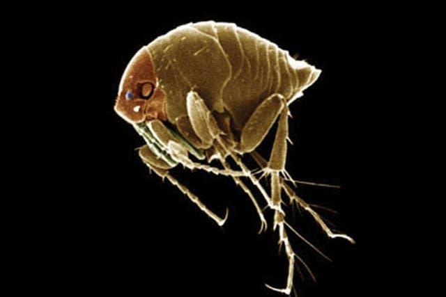 Aunque tiene varios nombres para identificarla, esta pulga milimétrica se llama científicamente Tunga penetrans
