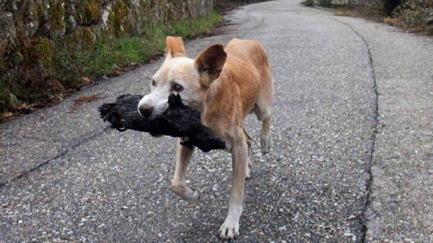 Una perra carga el cadáver calcinado de su cría