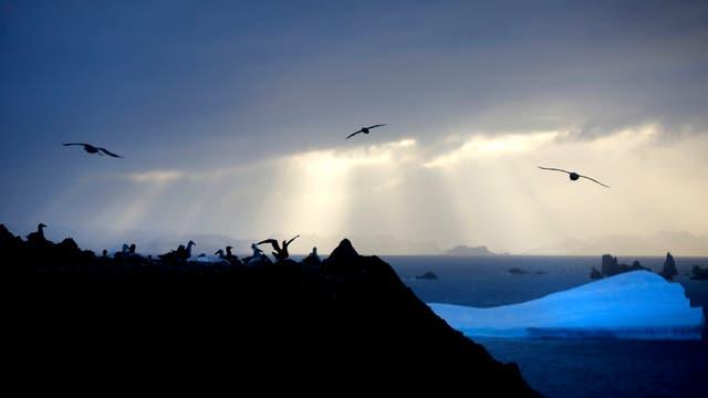 Colonia de Petreles gigantes, cercana a la base Carlini, en la Antartida. Foto: LA NACION / Fernando Gutierrez