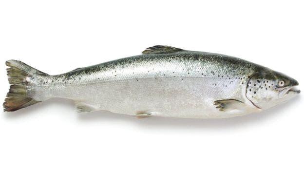 El piojo del salmón es prácticamente imposible de evitar