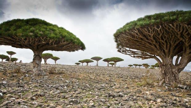 """Los dragos o """"árboles de la sangre de dragón"""", especie típica de Socotra"""