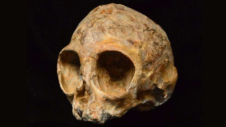 Alesi, el cráneo de una nueva especie de simio encontrada en Africa