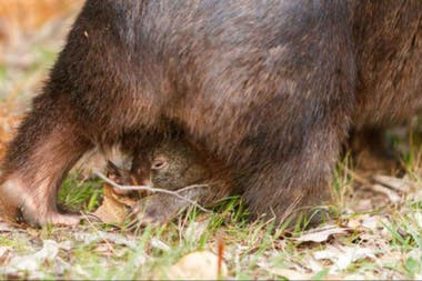 Vombatitios or wombats measure for one meter and are mainly crepuscular or night-animal. They carry their babies in a bag.