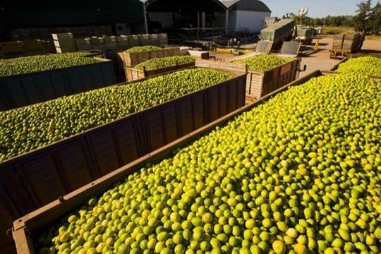 Limones en tránsito para su posterior proceso. Foto: http://lamoraleja.com.ar