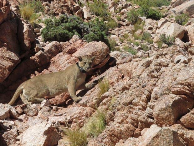 El puma, beneficioso para el ecosistema