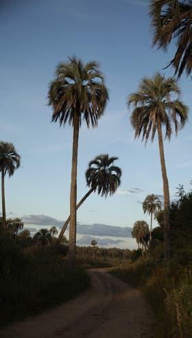 Algunas palmeras yatay tienen más de 200 años
