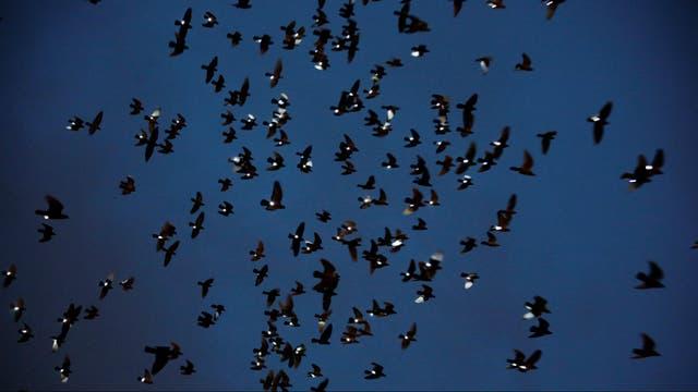 Cada una de las 2000 palomas tenía atada una luz led en su pata