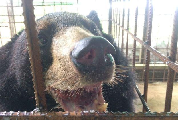 Ahora el oso tendrá una mejor calidad de vida de acuerdo al diagnóstico de los veterinarios
