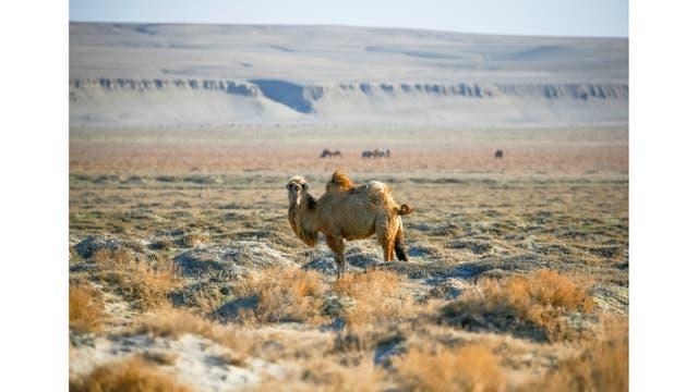 El camello pasta en un antiguo fondo marino en las afueras de la aldea de Zhalanash, cerca del mar de Aral
