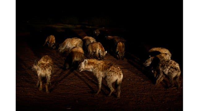 Los hienas esperan a Abbas Yusuf pra ser alimentadas
