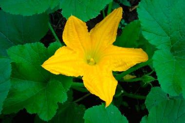 La planta de zucchini produce flores hembra y macho. Las primeras dan el fruto y las segundas, son las responsables de la fecundación.