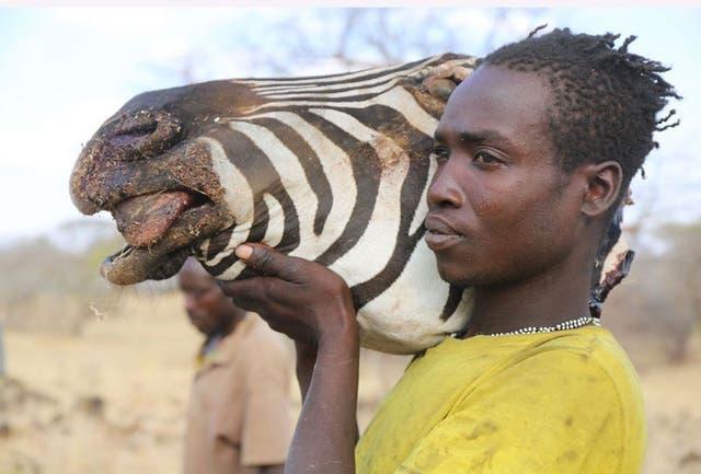 Las cebras son más fáciles de cazar en la temporada seca pues hay menos lugares en los que pueden tomar agua...