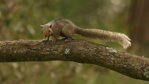 La ardilla de vientre rojo es de origen asiático y fue introducida al país en 1970