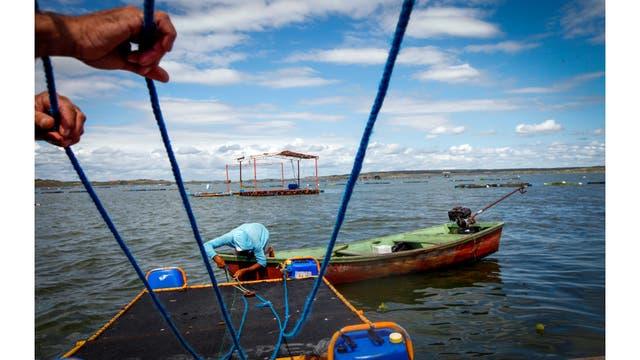 Un pescador trabaja en un tanque de tilapias en la presa de Castanhao donde se cultivan peces de tilapia y sus pieles son utilizadas para la investigación de tratamientos de quemaduras, en Jaguaribara, Brasil