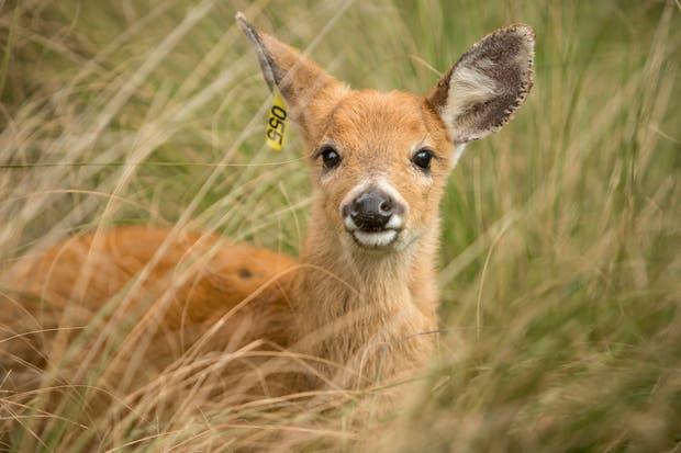 El ciervo Alem fue liberado la semana pasada en la Reserva Arauco