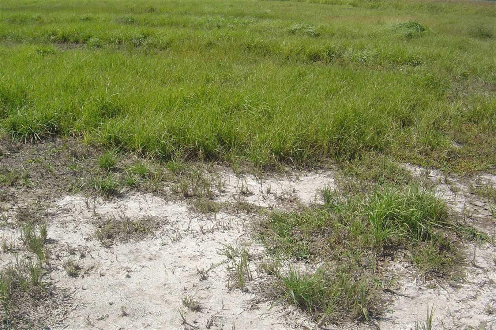 En suelos salinizados de Carlos Tejedor se implantó agropiro para buscar una corrección del proceso