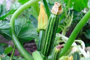 Según la variedad y las condiciones del cultivo, la cosecha de zucchini puede comenzar a los 80 días de la siembra.