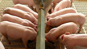 Los principales indicadores de la producción porcina -producción, faena y consumo- están en alza