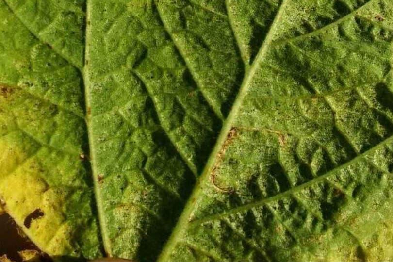 Por ahora es baja la presencia de plagas en soja en la zona núcleo