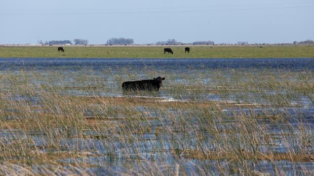 Inundaciones: bajó la oferta de ganado, pero esperan que no suba la carne