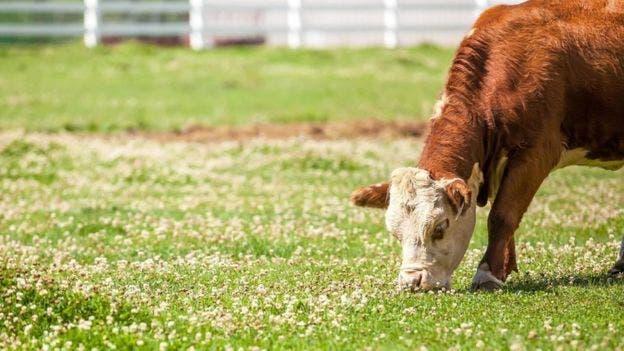 Hay casos de ganado que ha muerto por ingerir tréboles ricos en cumarina que habían sido infectados por un hongo