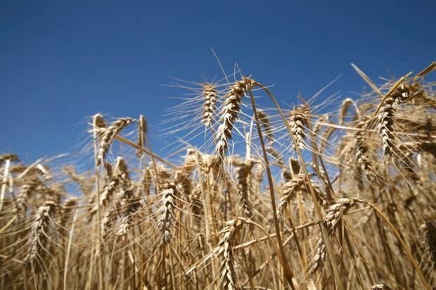 El Gobierno espera un nuevo salto productivo para el cereal