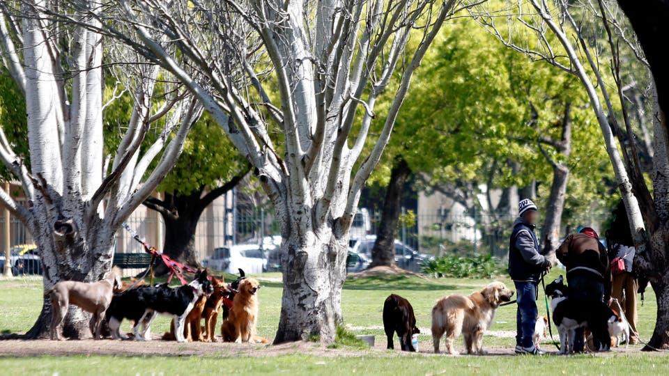 Paseadores de perros fuera de control, deben cumplir ciertas normas, casi ninguno lo hace. Foto: LA NACION / Maxie Amena