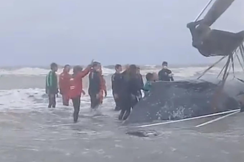 Una ballena encalló en una playa de Mar del Tuyú: realizan un operativo para devolverla al mar