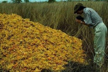 Los desechos de naranja se descompusieron gracias al trabajo de las larvas de moscas, los hongos y los microbios